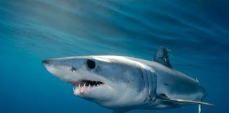 акула глава