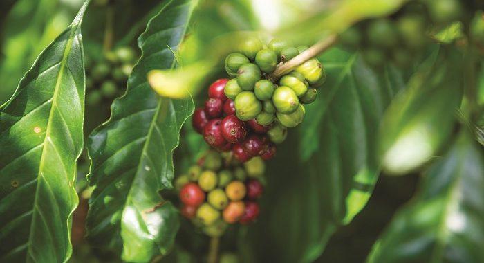 Най-популярните сортове кафе по света