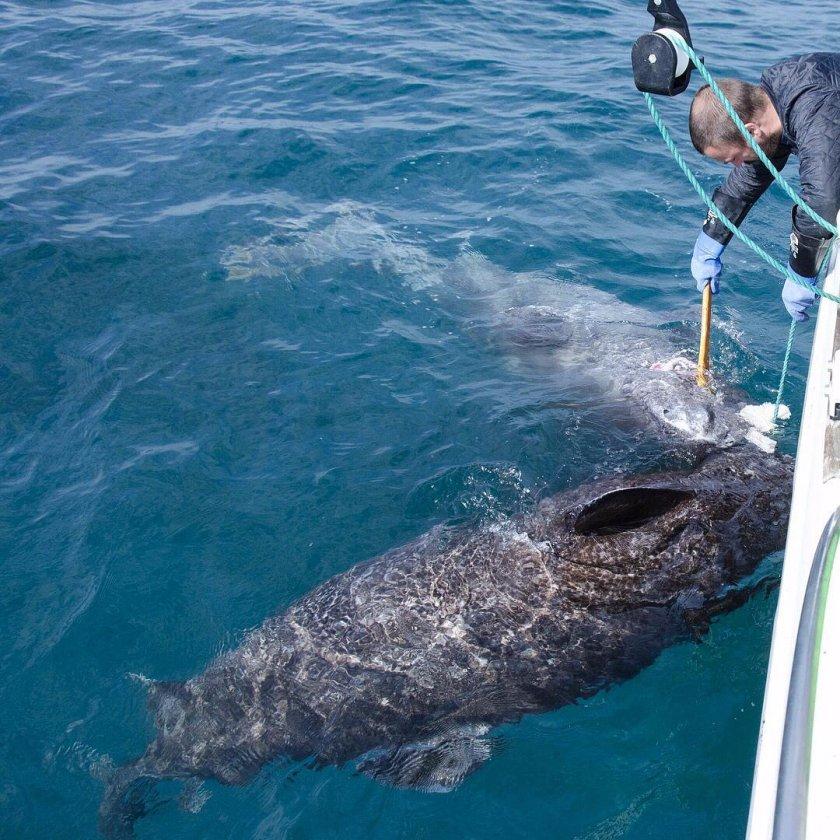 Намериха жива акула на 514 години! (Снимки + Видео)