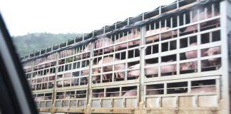Африканска чума по свинете в Китай