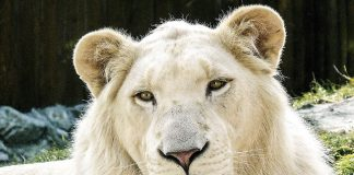 бели лъвчета
