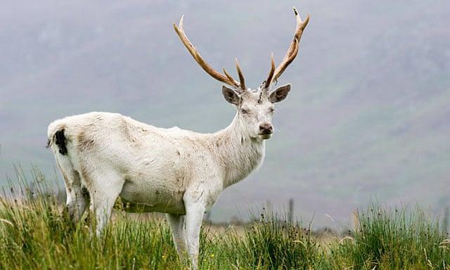 бял елен Карлово