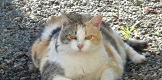 дебела котка