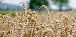 реколтата от пшеница