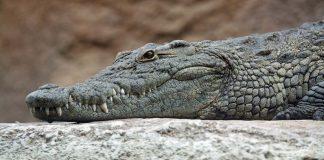 крокодил Германия