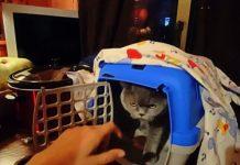 породисто коте
