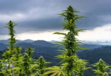 трафика на марихуана