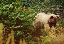 мечка белица