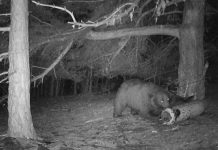 мечката в Белица