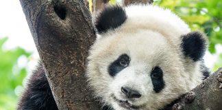 Гигантските панди