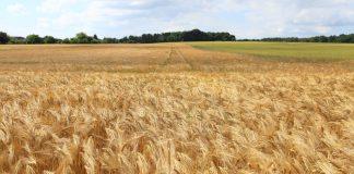Русия пшеница